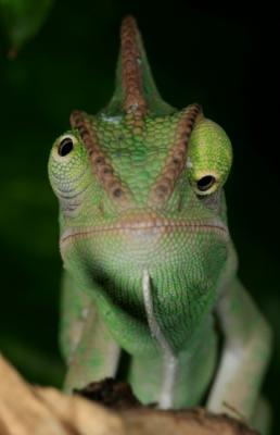 cameleon-yeux